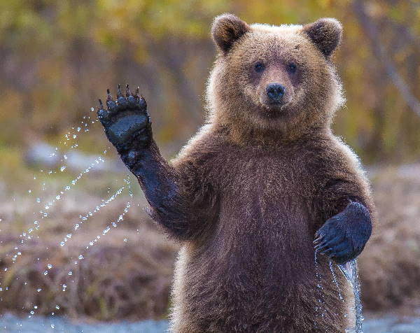 a brown bear, the national animal of Russia