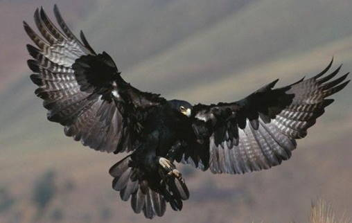 a black eagle, the national animal of Germany