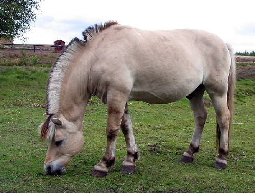 a fjord horse