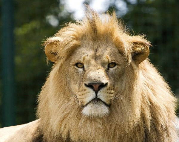 a lion, the national animal of Belgium