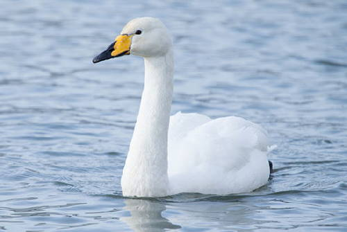 a whooper swan, the national animal of Finland